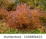 Autumn Colorful Red Bushes In...