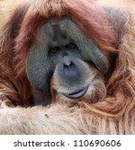 close view of an old male Orangutan - stock photo
