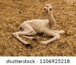 young camel lying on straw in...   Shutterstock . vector #1106925218