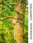 Ground Nest Oak Processionary...