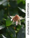 Small photo of Withered and fallen rosebud on a background of green foliage