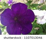Deep Dark Purple Petunia Flowe...