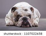 Small photo of English bulldog close up front