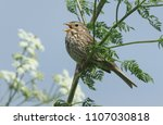 a singing corn bunting ... | Shutterstock . vector #1107030818
