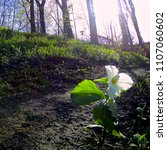 Small photo of Ontario's trillium in nature