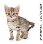small brown kitten isolated on... | Shutterstock . vector #1107066005