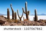 trichoreceus cactus on isla... | Shutterstock . vector #1107067862