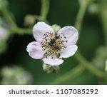 Closeup Eristalis Horticola  A...