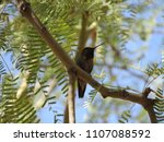 hummingbird sitting in a tree... | Shutterstock . vector #1107088592