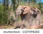 elephants kick up and spray...   Shutterstock . vector #1107098282