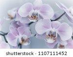 beautiful delicate orchid... | Shutterstock . vector #1107111452