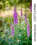 beautiful lilac lupines in tall ... | Shutterstock . vector #1107114986