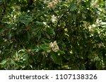 alexandrian laurel  beautiful...   Shutterstock . vector #1107138326