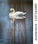 white swan on the river.a white ... | Shutterstock . vector #1107161885