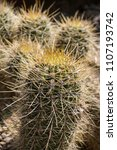 cactus. close up of green... | Shutterstock . vector #1107193742