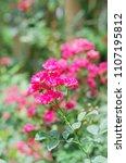 pink mini rose | Shutterstock . vector #1107195812