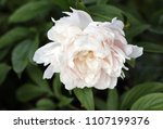 light pink peony shine in the... | Shutterstock . vector #1107199376