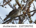 a common nightingale in the... | Shutterstock . vector #1107290702
