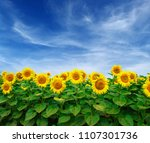 sunflowers field on sky... | Shutterstock . vector #1107301736