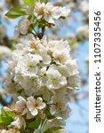 cherry blossom in jerte valley  ... | Shutterstock . vector #1107335456