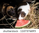 Adorable Guinea Pig Eating