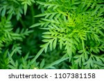 close up of green leaf texture... | Shutterstock . vector #1107381158