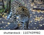 a photo of a male jaguar ... | Shutterstock . vector #1107439982