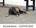 laying hairless dog in peru | Shutterstock . vector #1107451202