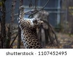 a photo of a male jaguar ... | Shutterstock . vector #1107452495