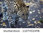 a photo of a male jaguar ... | Shutterstock . vector #1107452498