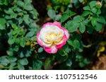 double delight hybrid tea rose... | Shutterstock . vector #1107512546