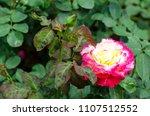 double delight hybrid tea rose... | Shutterstock . vector #1107512552