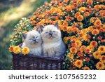 cute little kitten in a basket... | Shutterstock . vector #1107565232