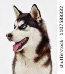 dog breed siberian husky | Shutterstock . vector #1107588332