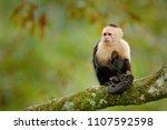 white headed capuchin  black...   Shutterstock . vector #1107592598