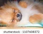Cute Pomeranian Puppy Sleeping...