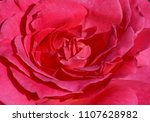 close up of pink rose flower | Shutterstock . vector #1107628982