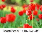 beautiful blooming tulips... | Shutterstock . vector #1107669035