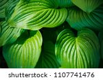 Green Leaves With Droplets Of...
