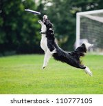 Stock photo black and white dog catching disc in jump 110777105