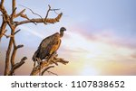 white backed vulture perched on ...   Shutterstock . vector #1107838652