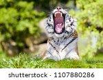 amur  or siberian tiger ...   Shutterstock . vector #1107880286