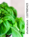fresh basil with drops of water   Shutterstock . vector #1107885425