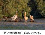 white pelicans  pelecanus... | Shutterstock . vector #1107899762