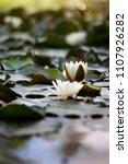 white nymphaea  nymphaea alba l.... | Shutterstock . vector #1107926282