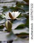 white nymphaea  nymphaea alba l.... | Shutterstock . vector #1107927122