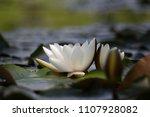 white nymphaea  nymphaea alba l.... | Shutterstock . vector #1107928082