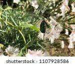 close up melolontha beetle on... | Shutterstock . vector #1107928586