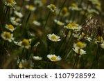 warm light chamomile flower... | Shutterstock . vector #1107928592