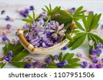 the petals of a blooming lupine.... | Shutterstock . vector #1107951506